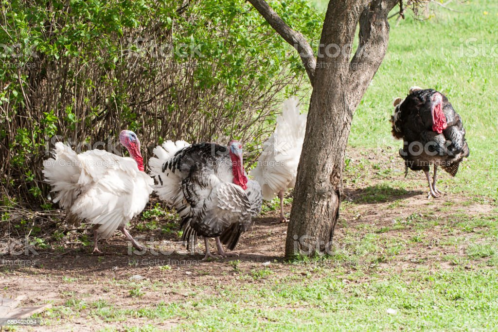 turkey male or gobbler grazing on a green grass background stock photo