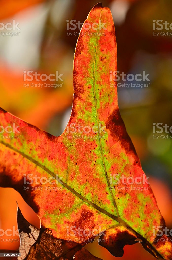 Turkey oak leaf finger in fall colors pointing up. stock photo