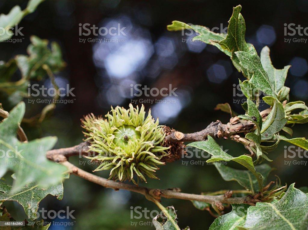 Turkey oak or Austrian oak tree acorn Quercus cerris stock photo