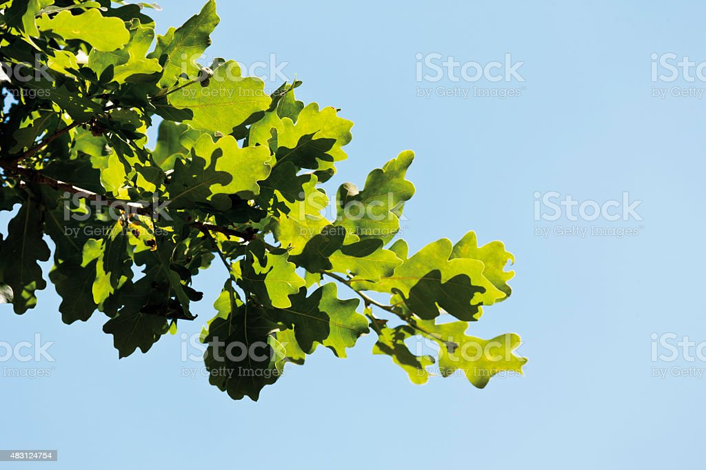 Turkey oak tree against clear sky,close up stock photo