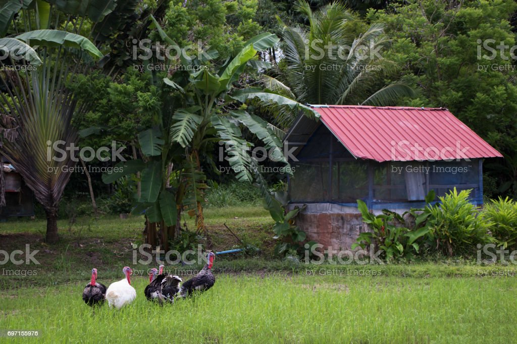 turkey or chicken in rice field and agriculture background stock photo