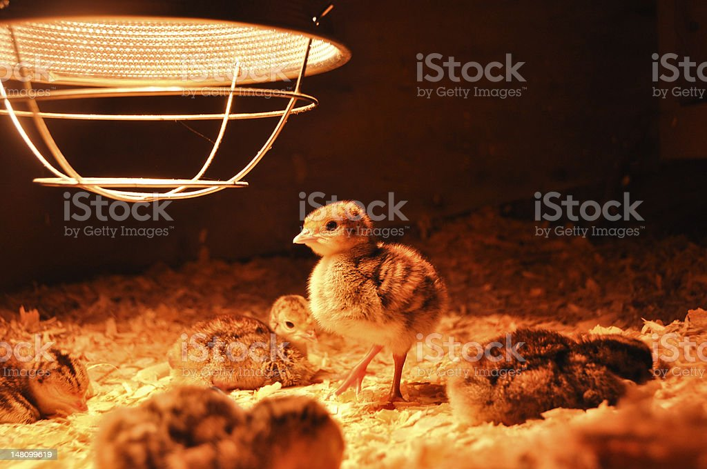 Turkey poults under the brooder lamp stock photo