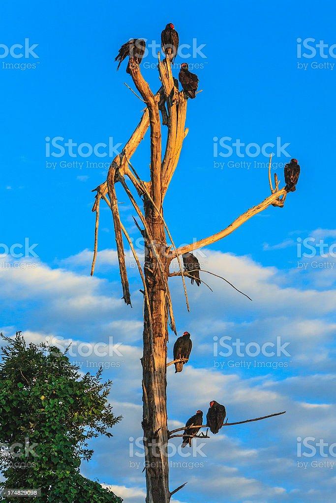 Turkey Vulture At Sunrise, Cuba royalty-free stock photo