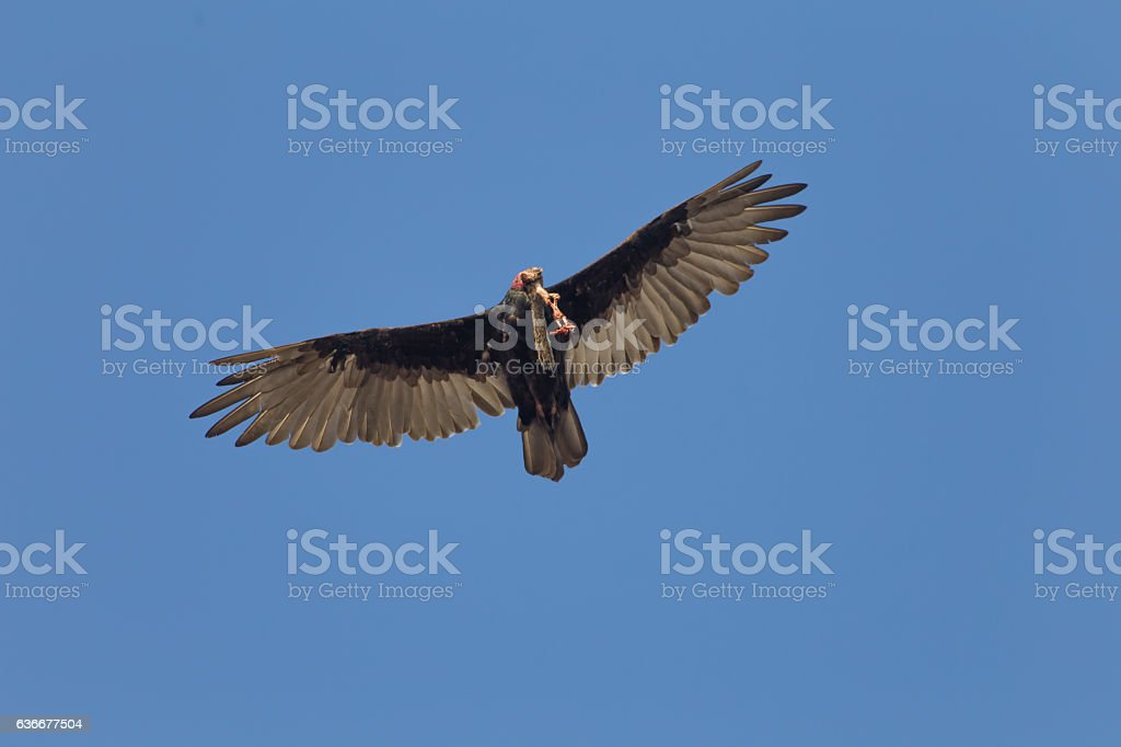 Turkey Vulture (cathartis aura) Eating Carrion stock photo