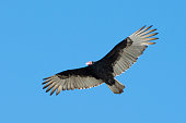 turkey vulture flying against clear blue sky