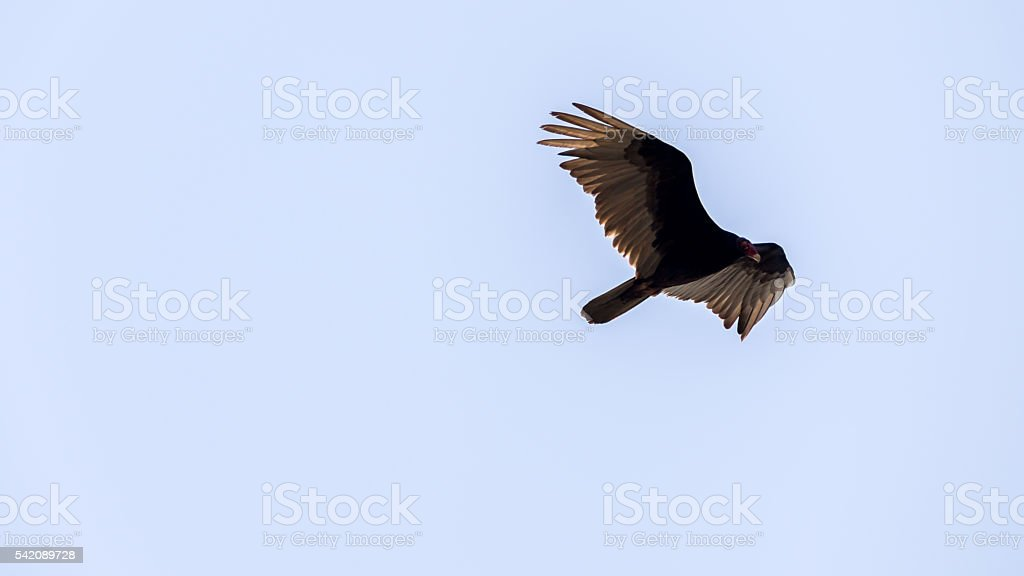 Turkey Vulture Flying, Merritt Island National Wildlife Refuge, stock photo