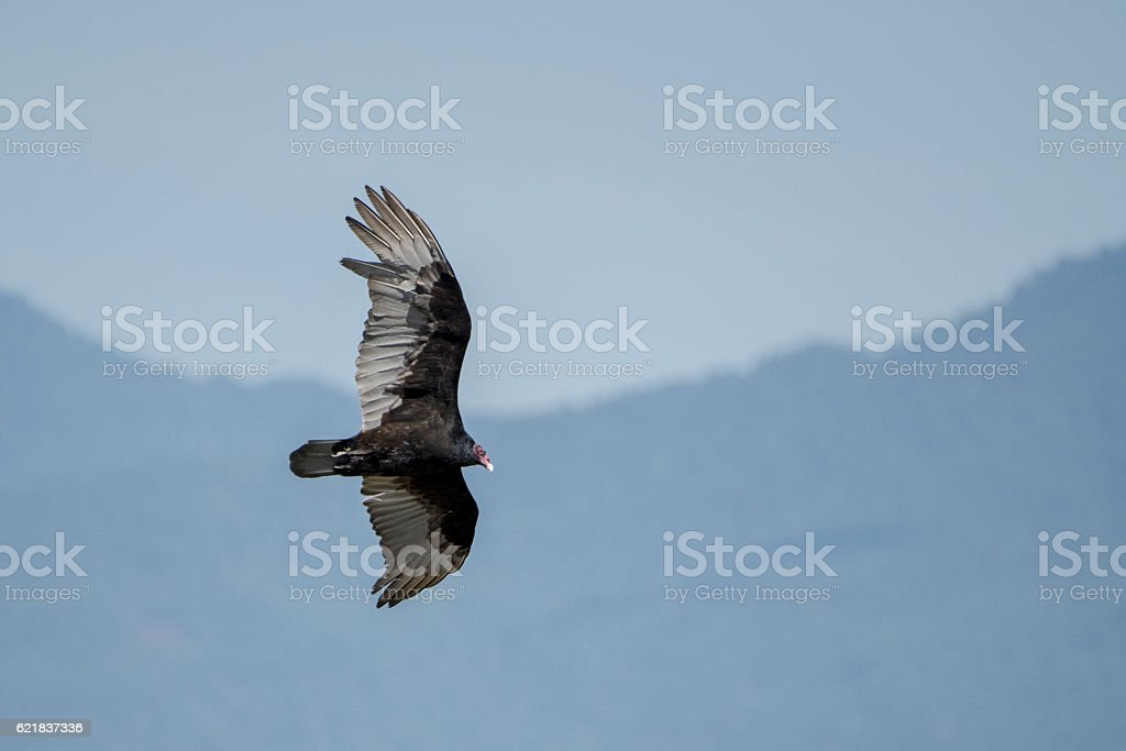 Turkey Vulture stock photo