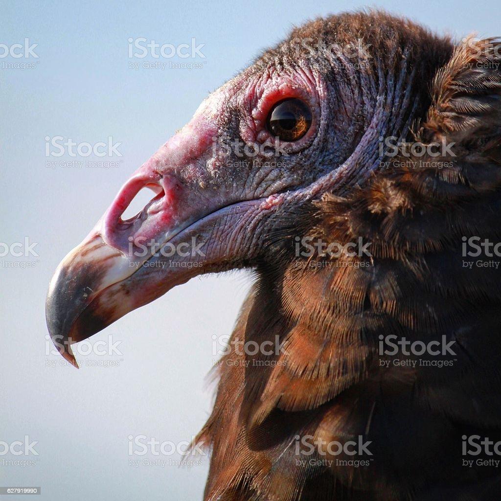 Turkey vulture profile stock photo