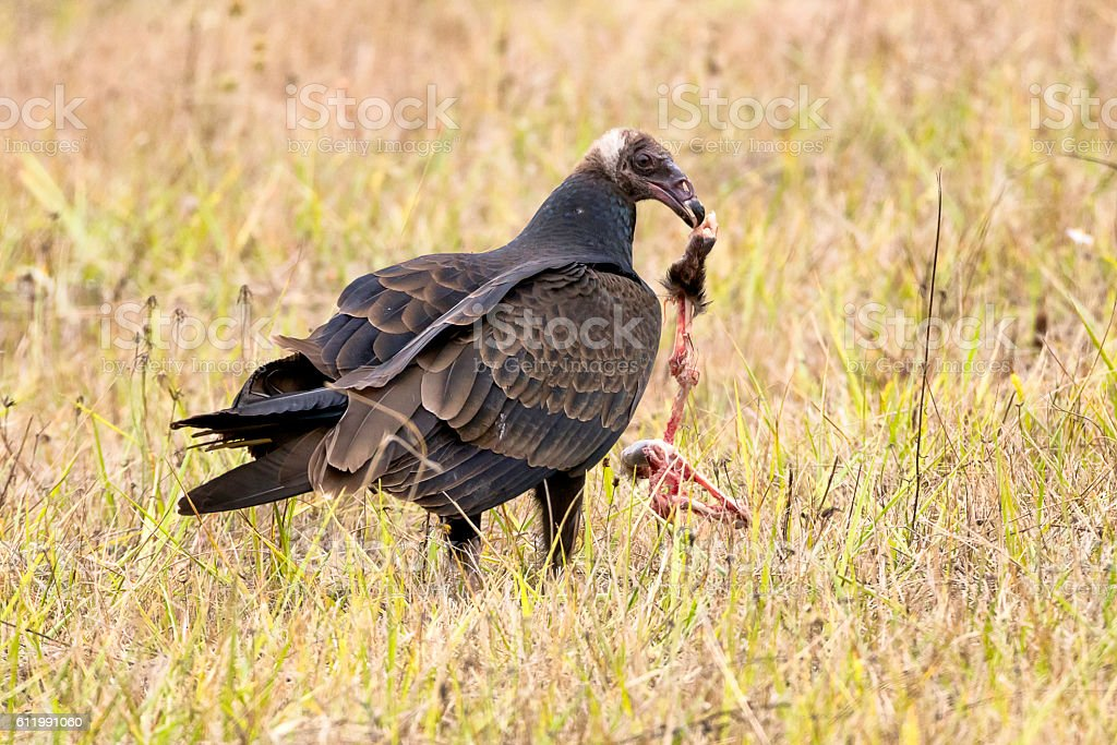 Turkey vulture with paw of possum stock photo