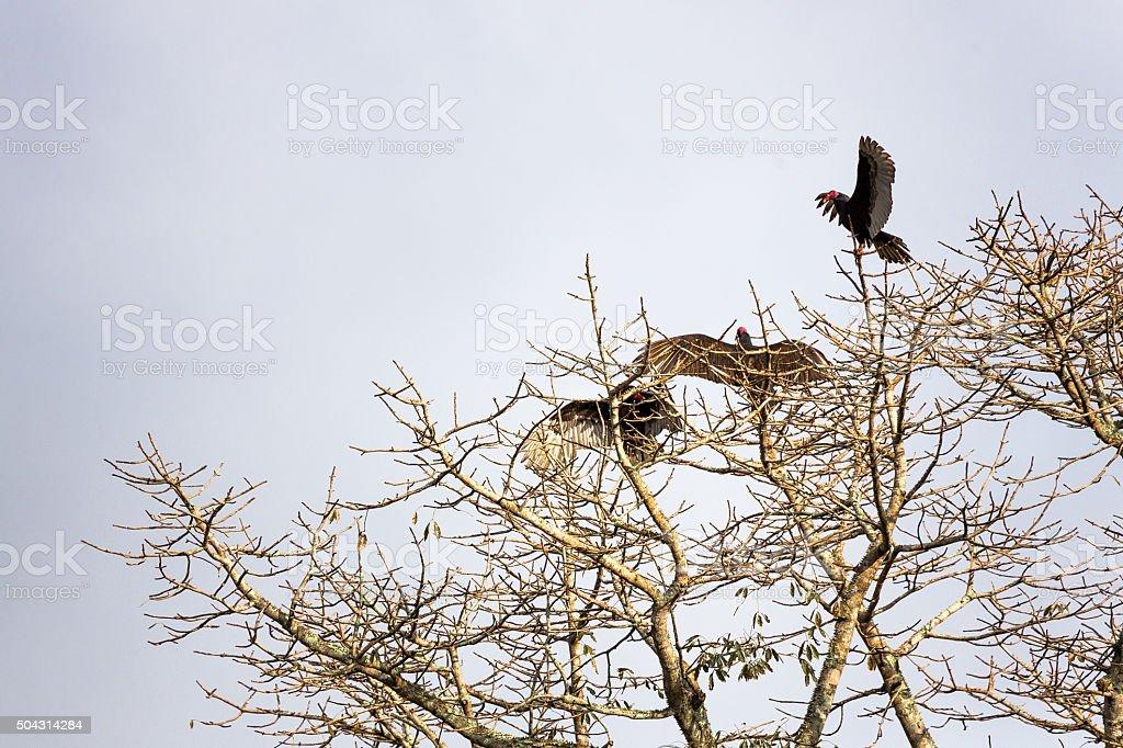 Turkey Vultures on a Tree stock photo