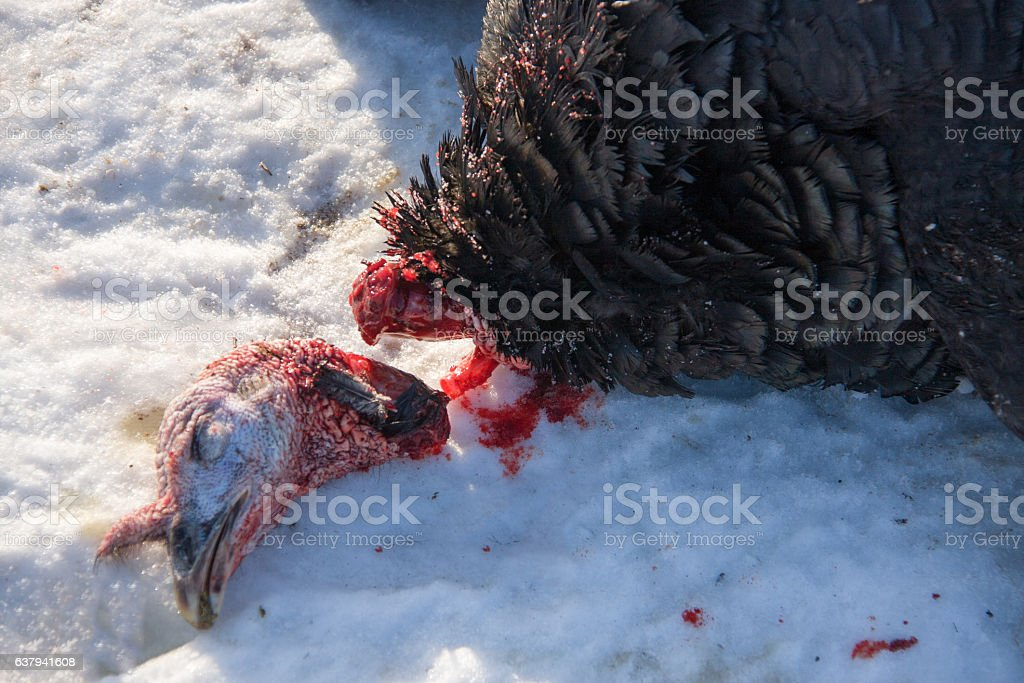 turkey with the severed head lying in the snow stock photo