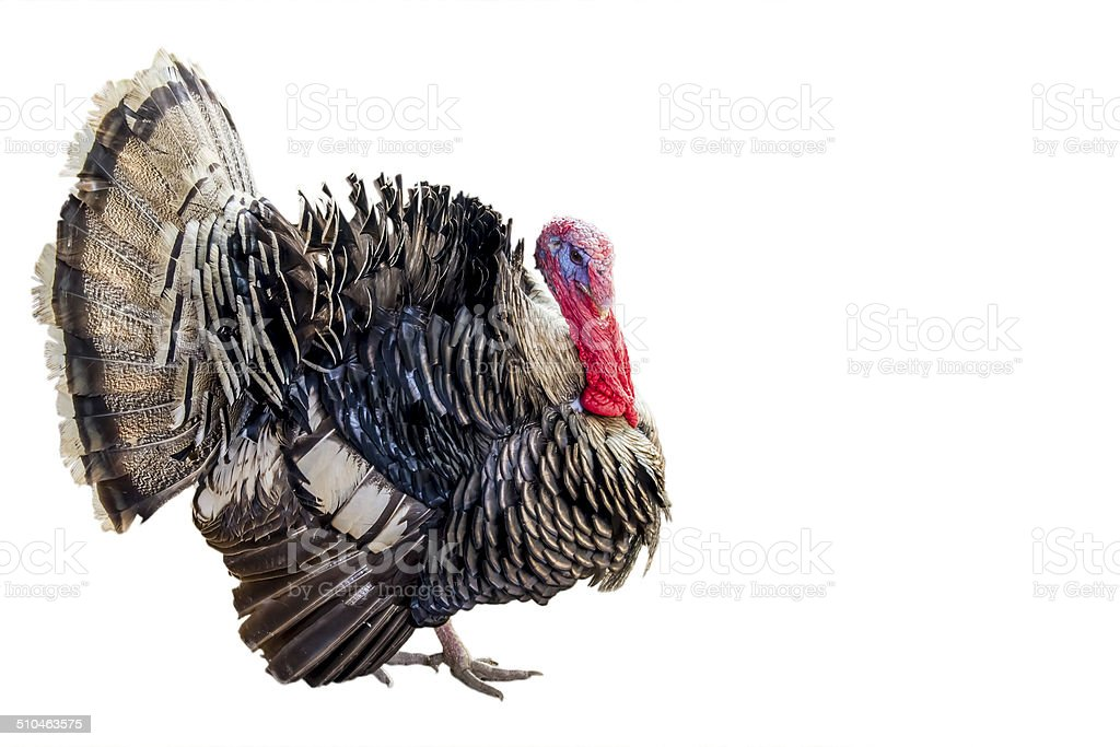 turkey-cock on isolated white background. stock photo
