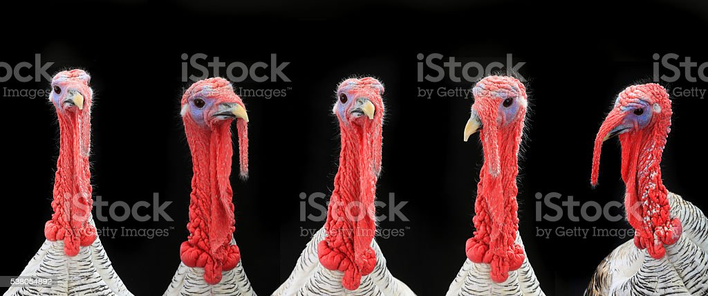 turkey-cocks stock photo