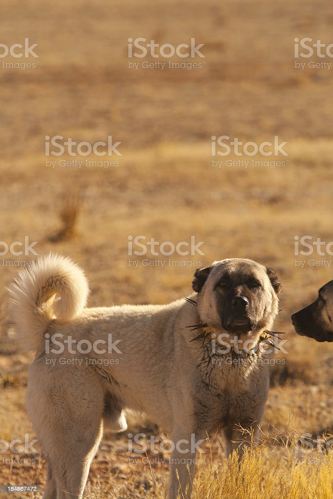 Turkish Anatolian Shepherd Dogs stock photo