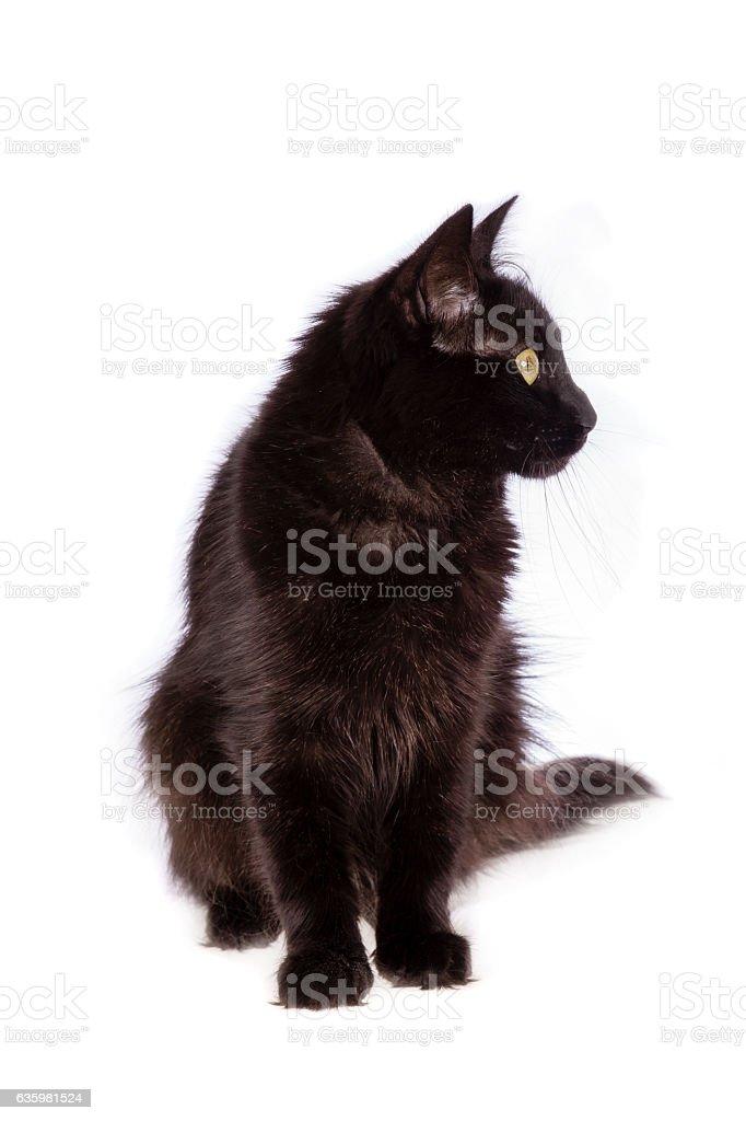 Turkish Angora black cat with long hair stock photo
