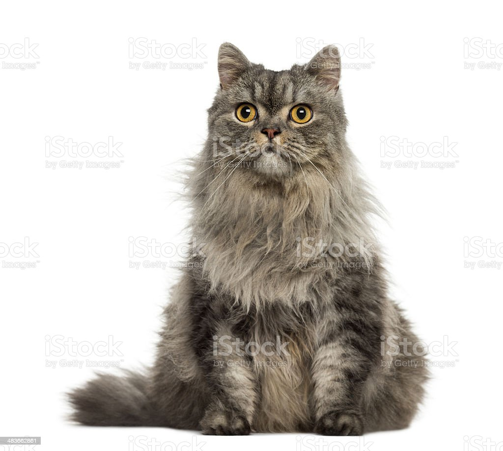 Turkish Angora sitting and looking away stock photo