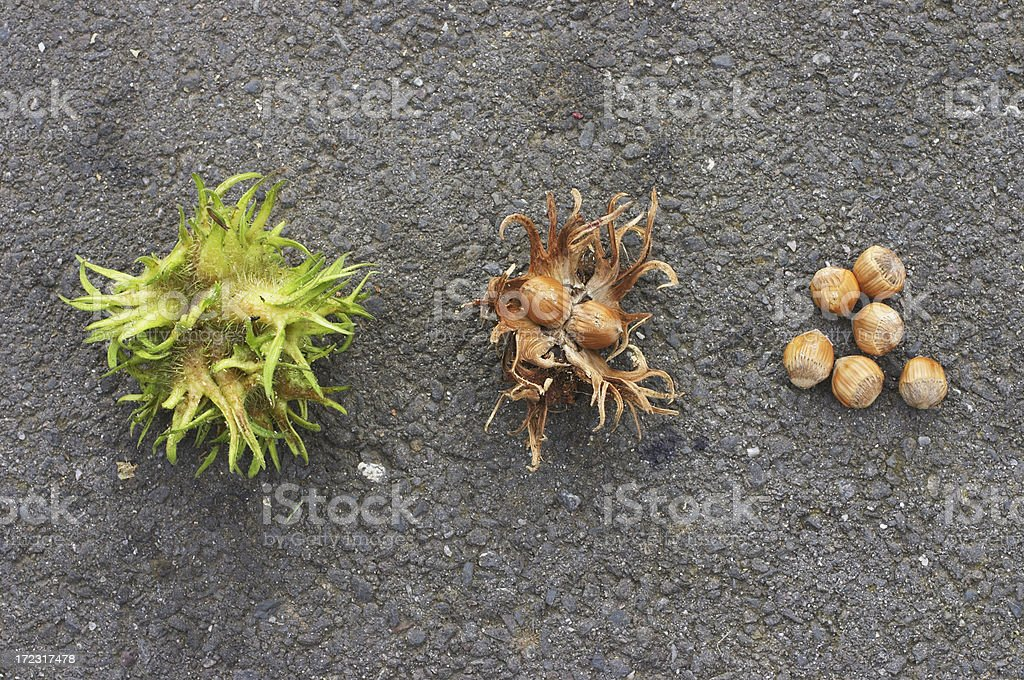Turkish hazel nuts in stages royalty-free stock photo