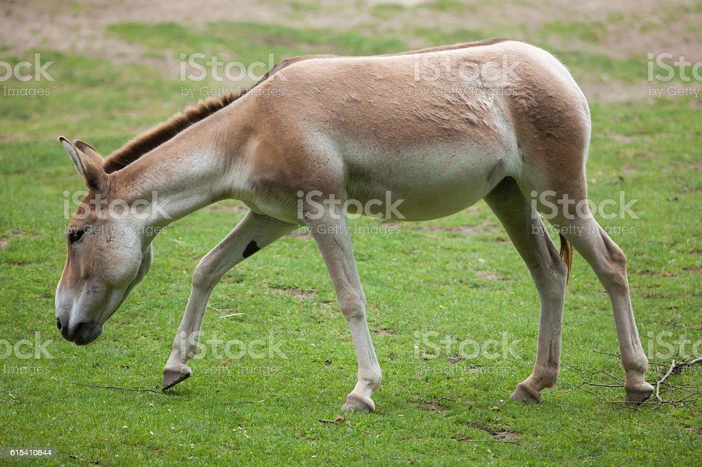 Turkmenian kulan (Equus hemionus kulan). stock photo