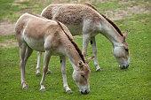 Turkmenian kulan (Equus hemionus kulan).