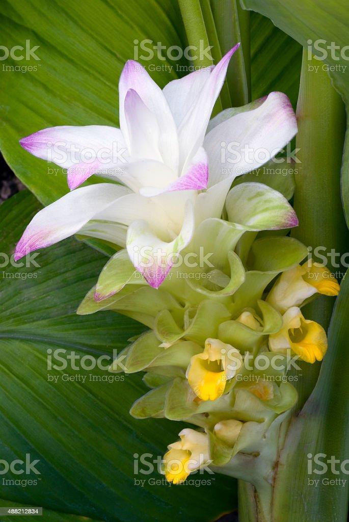 Turmeric flower (Curcuma longa) stock photo