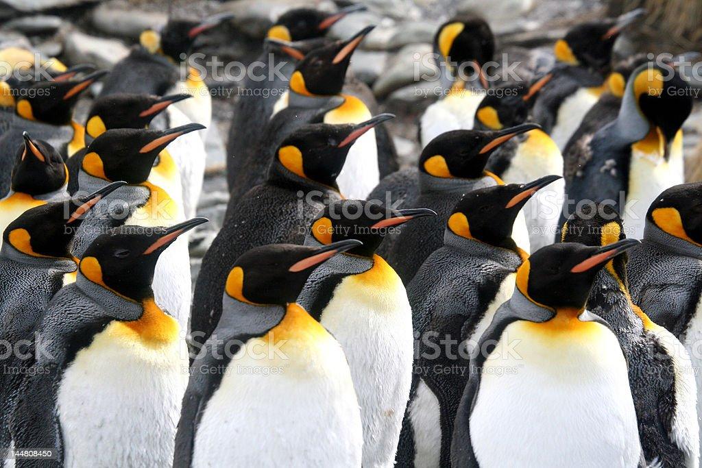 Turned Penguins royalty-free stock photo
