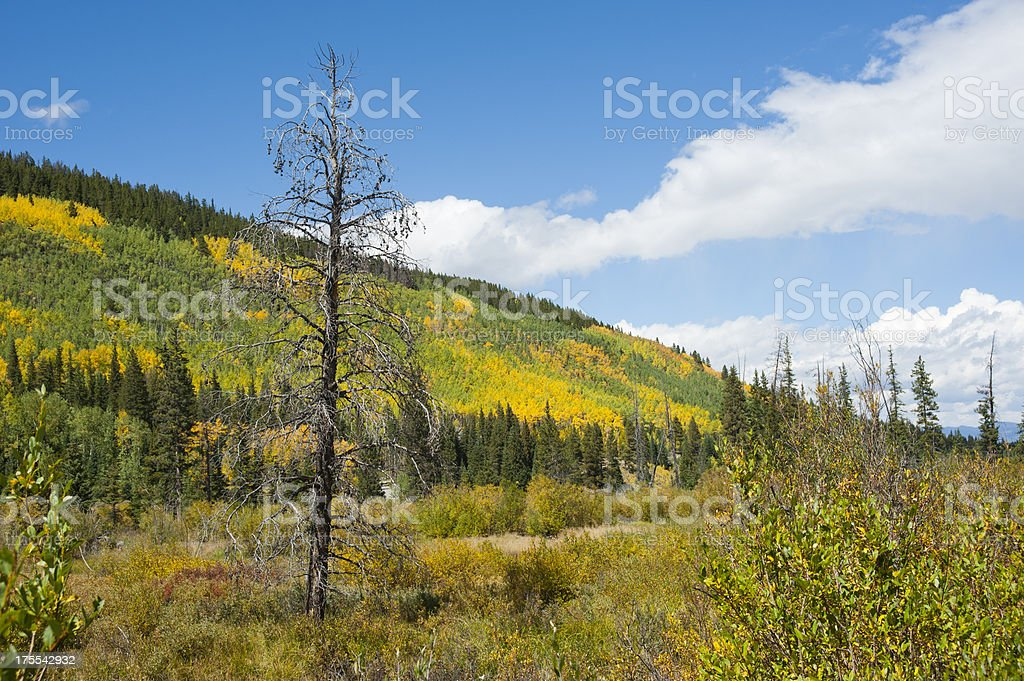 Turning Aspen Trees and Dead Fir Tree stock photo