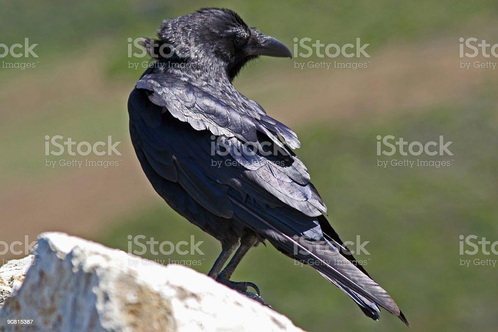 Turning Crow stock photo