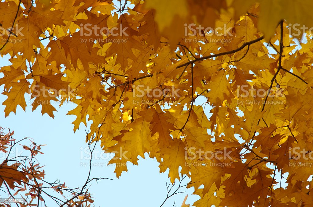Turning yellow of the red oak stock photo