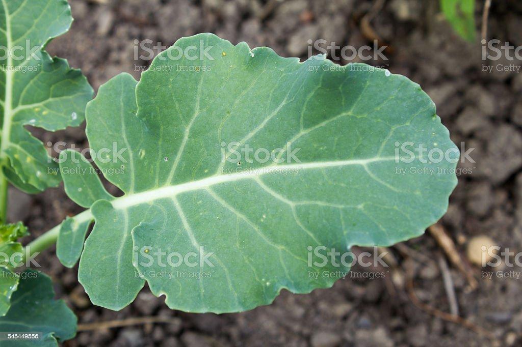 Turnip cabbage (Brassica oleracea var. gongylodes) in a garden stock photo