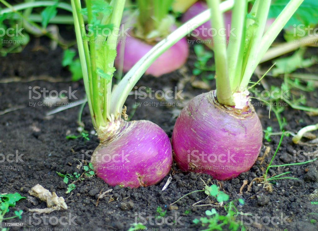 Turnips in the garden royalty-free stock photo