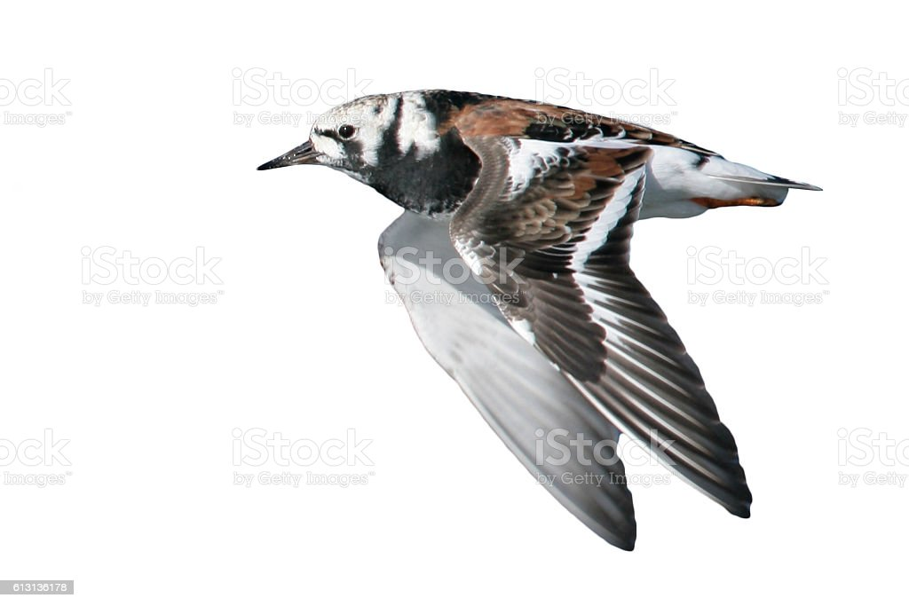 Turnstone, Arenaria interpres, stock photo