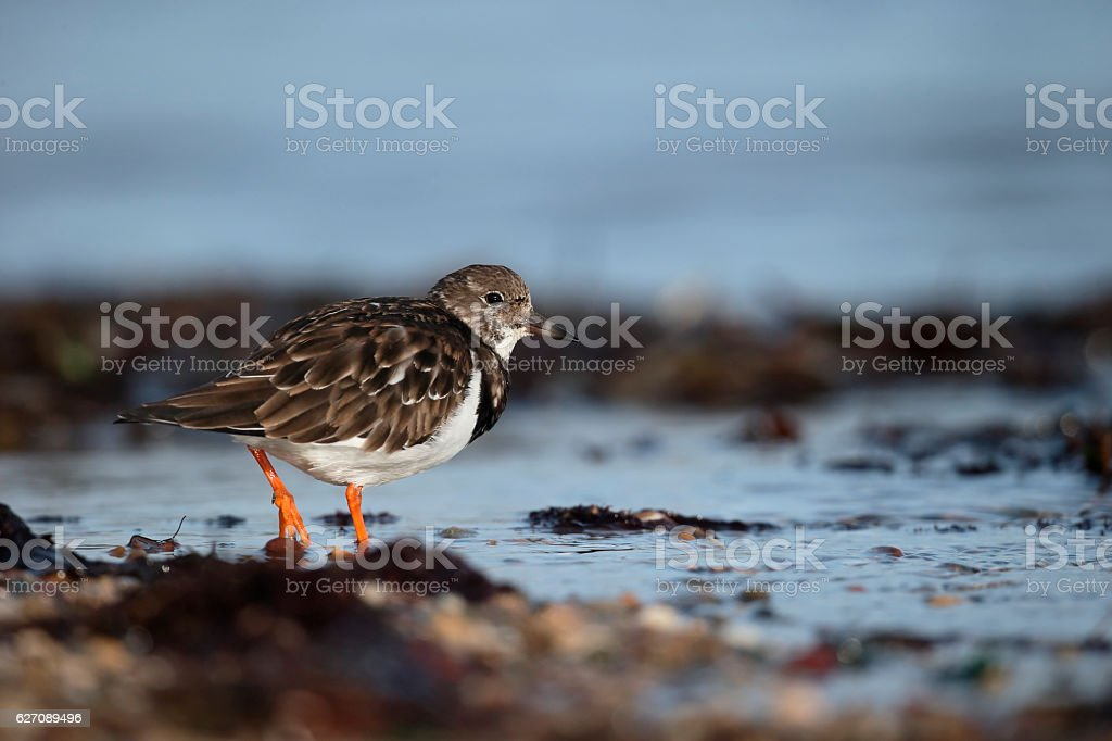 Turnstone, Arenaria interpres stock photo