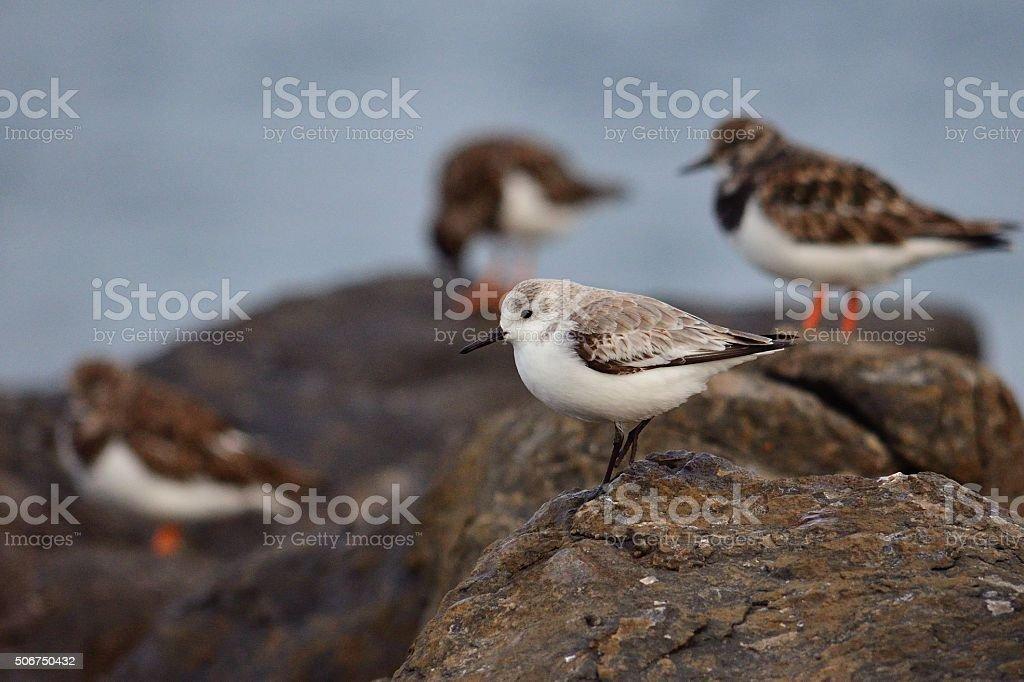 Turnstone birds stock photo