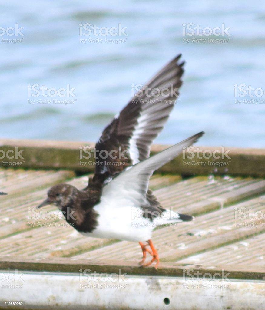 turnstone coastal bird in flight stock photo