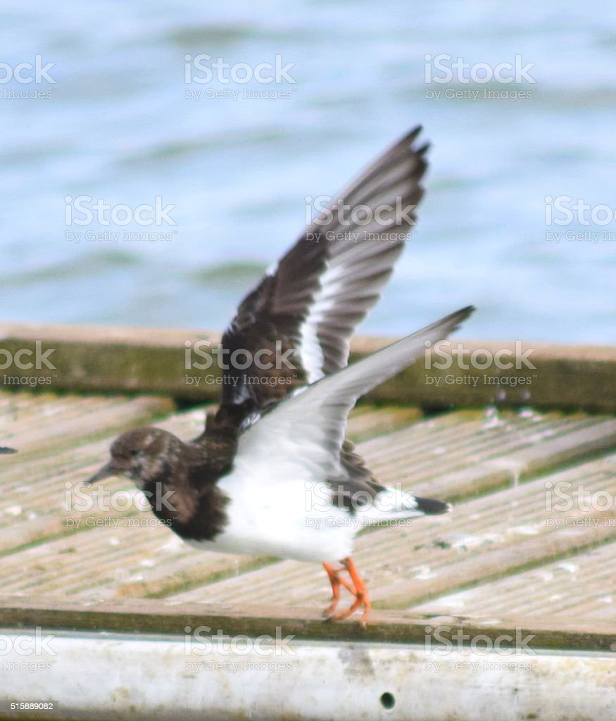 turnstone coastal bird in flight stock photo