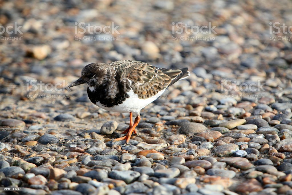 Turnstone on the seashore stock photo