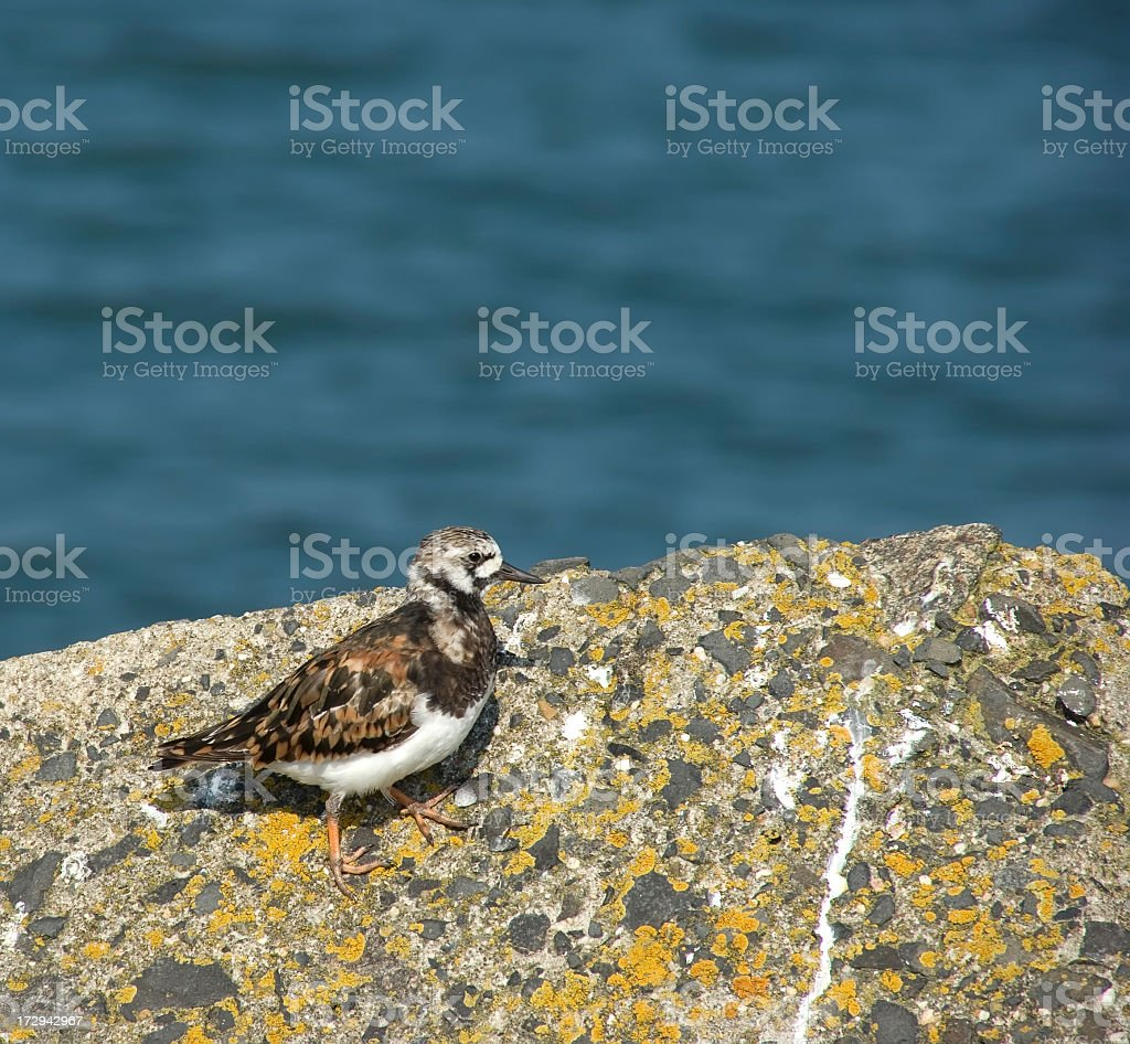 Turnstone (Arenaria interpres) partly in Winter Plumage royalty-free stock photo