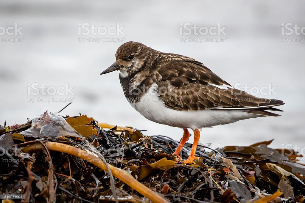 Turnstone (Arenaria interpres) stock photo