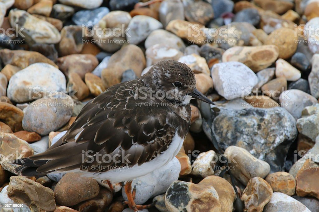 Turnstone (juvenile) (Arenaria interpres) stock photo