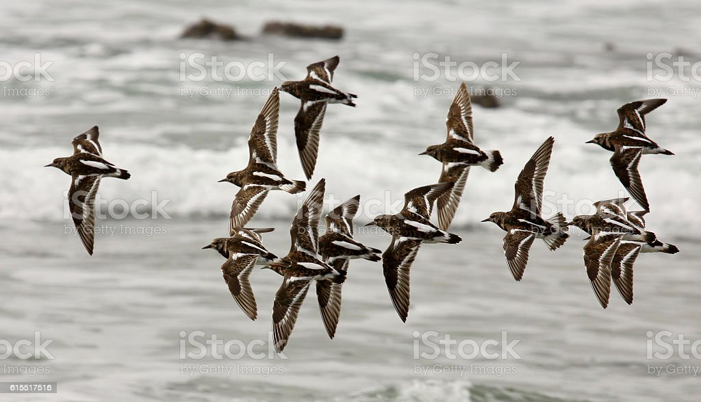 turnstones flying stock photo