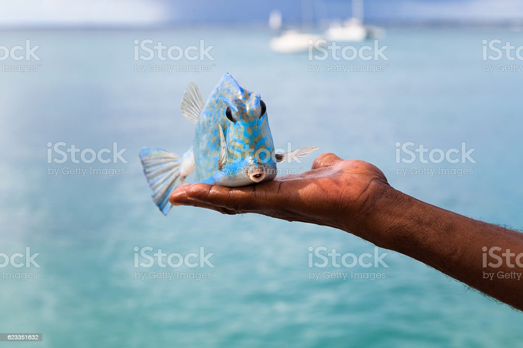 Turquoise cow fish held in fisherman's hand front view stock photo