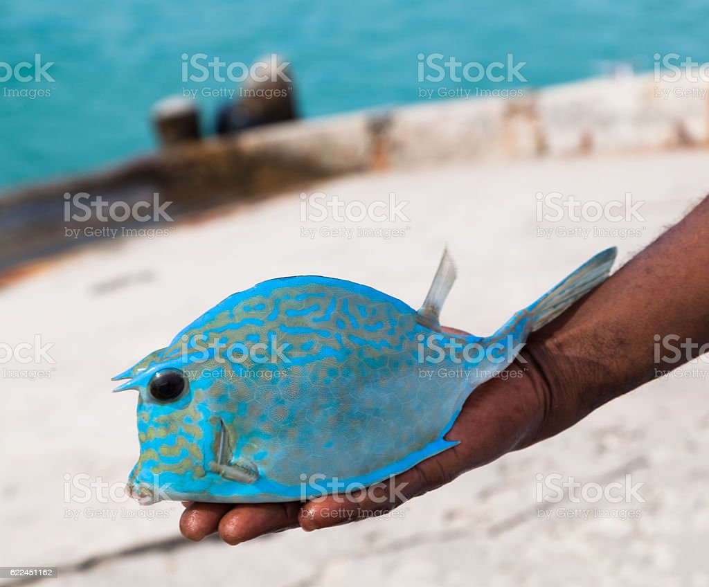 Turquoise cow fish held in fisherman's hand stock photo
