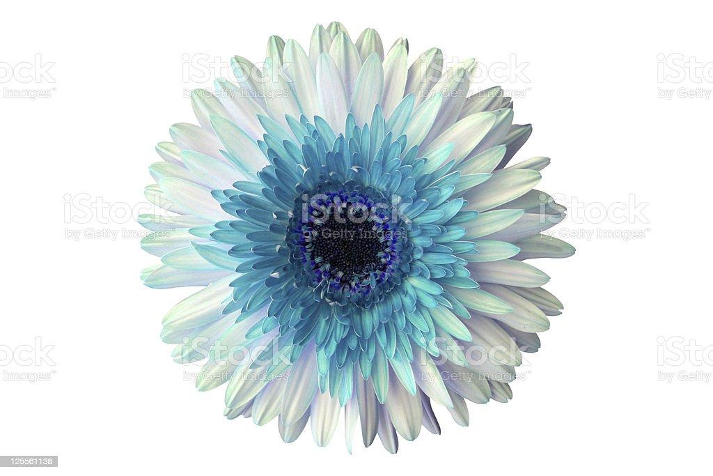 Turquoise daisy royalty-free stock photo