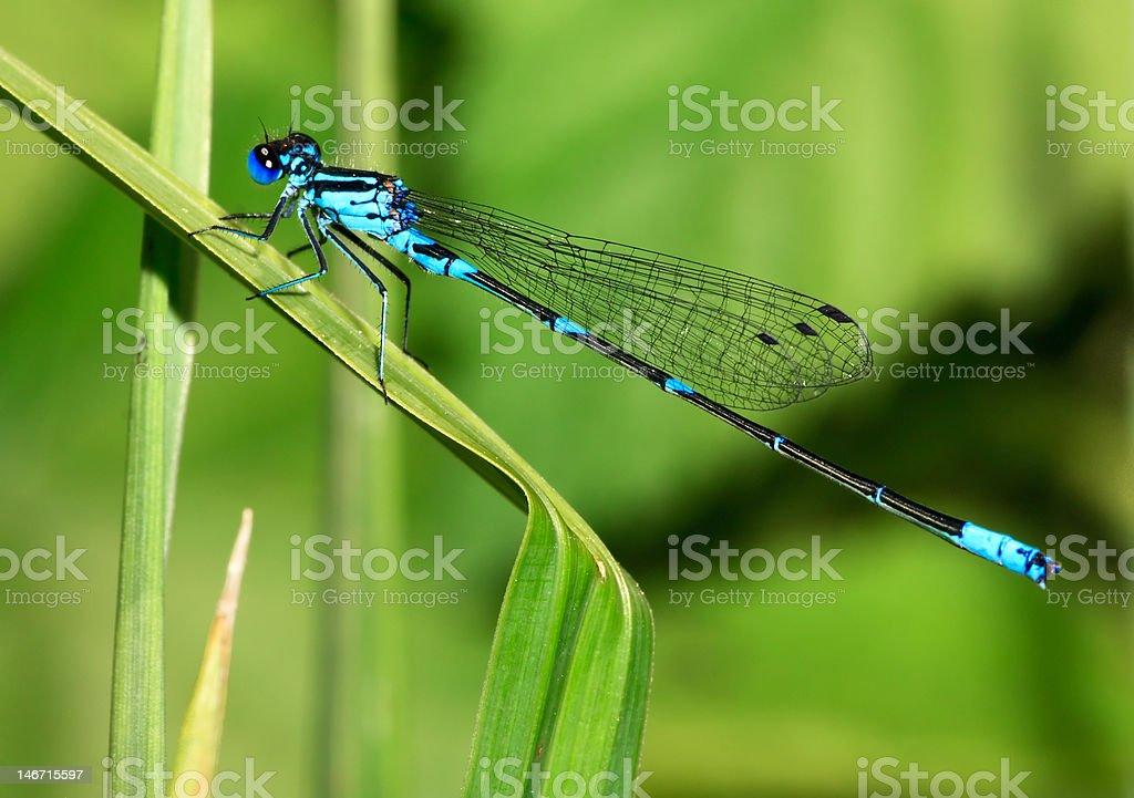 Turquoise damselfly royalty-free stock photo
