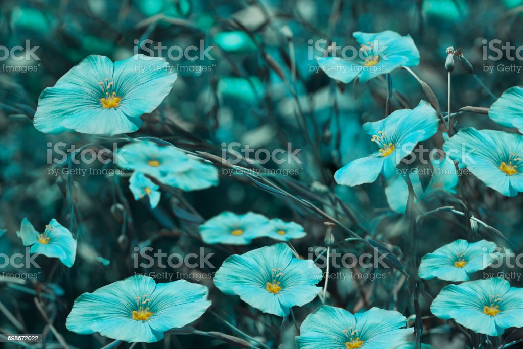 Turquoise flowers on blurry  background. Floral background. Turquoise wildflowers in the grass.Nature. stock photo