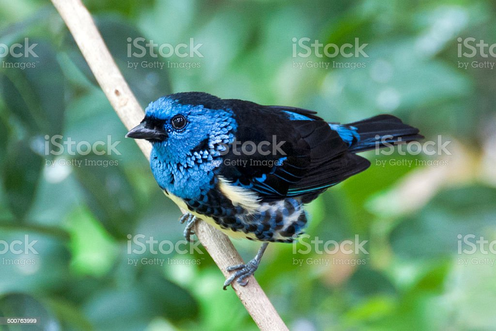 turquoise tanager Tangara mexicana royalty-free stock photo