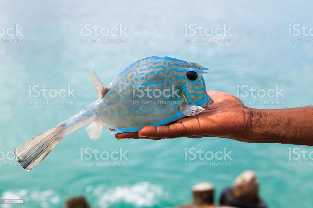 Turquoise tropical cow fish in fisherman's hand stock photo