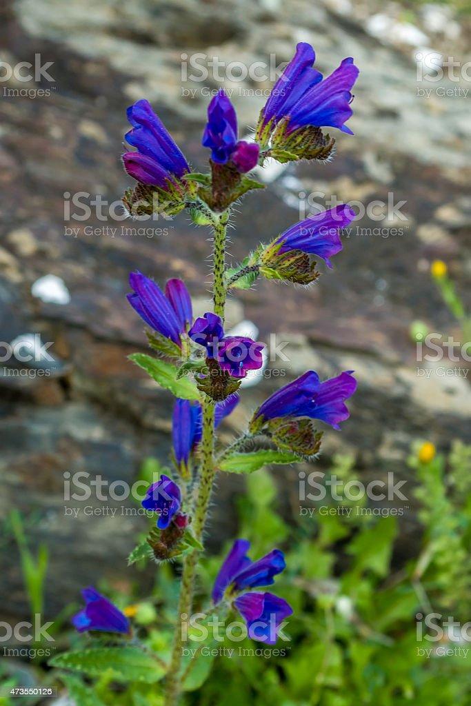 turrita reptans stock photo