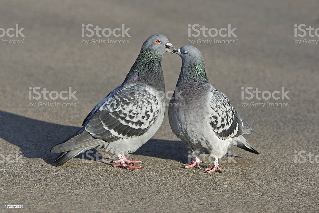 Turtelnde Tauben stock photo
