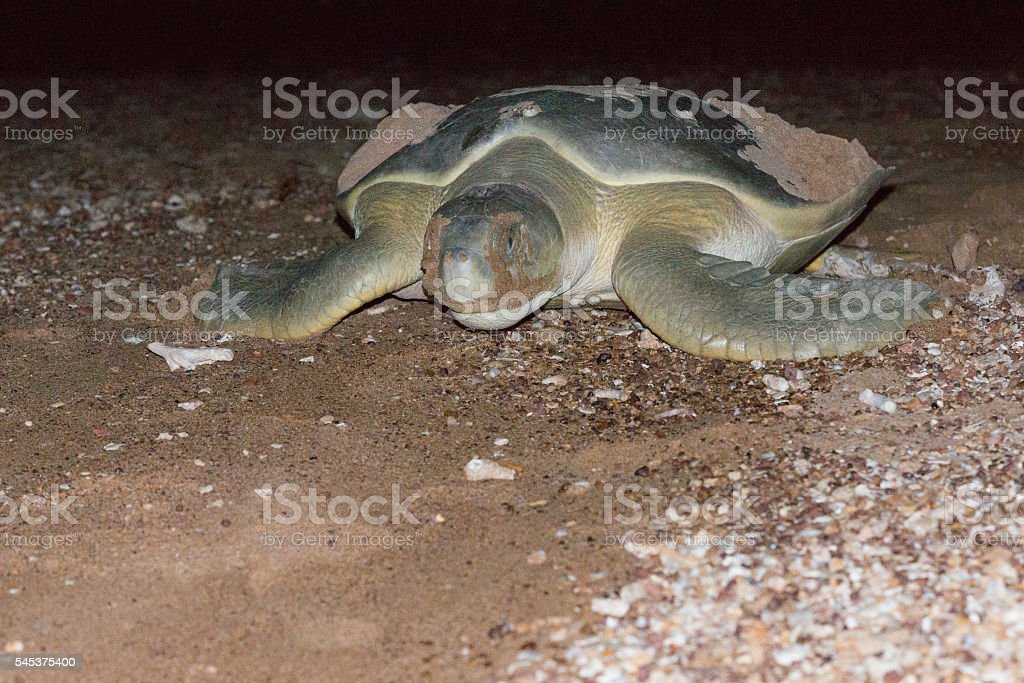 Turtle after laying eggs stock photo